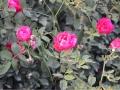 Rose Flowers.