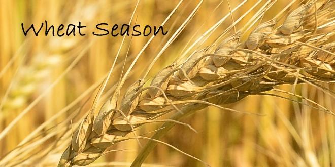 Wheat Season